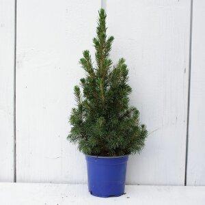 weihnachtsbaum-picea-glauca-conica-zuckerhutfichte-35-cm